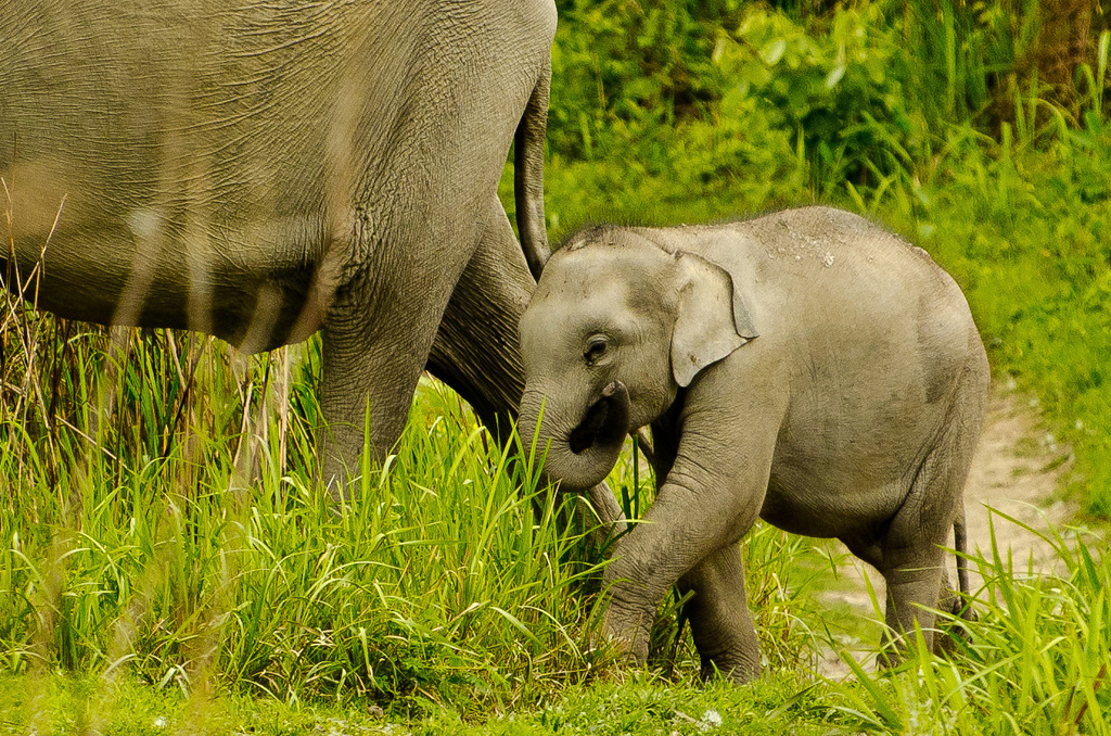 Elephants  at Kaziranga National Park, Assam, India - The home of the great Indian one-horned rhino, Bengal tiger, wild buffalo, Asian elephant and eastern swamp deer  is justifiably regarded as one of India's best protected national parks. Read about threats to this world heritage site -  http://goo.gl/BFC2ix