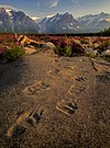 Grizzly Tracks & Fairweather Range, British Columbia/Alaska