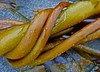 Kelp, Brooks Penninsula, British Columbia