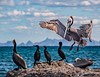 Brown Pelican, Isla Carmen, Baja California Sur