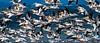 White Pelicans, Columbia River, WA