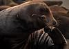 Sea Lion, Columbia River, OR