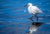 Snowy Egret, Alameda, CA
