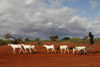 In this Thursday, Oct. 22, 2009 picture a Somali Kenyan man walk behind his goats as they look for leaves to graze on in the settlment of Dela in northen Kenya near the Somali border.