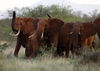 Elephants use their trunks to smell for possible danger in the Tsavo East national park, Tuesday, March 9, 2010 in Kenya.