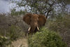 A elephant can be seen in the Tsavo East game park in Kenya 5 June 2013. PHOTO/KAREL PRINSLOO