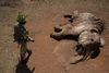 Kenya Wildlife Ranger Sgt. Benson Epae from the anti poaching unit look at an elephant that was killed by poachers with a poison arrow three weeks ago in the Tsavo East game park in Kenya 6 June 2013. PHOTO/KAREL PRINSLOO