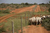 Kenya Wildlife Rangers from the anti poaching unit chase cattle grazing inside the park out through a fence in the Tsavo East game park in Kenya 9 June 2013. PHOTO/KAREL PRINSLOO