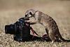 Meekat and camera