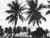 Palm Trees, Hampi 2013   Edition 1 of 5