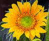 Homegrown sunflower