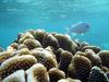 Blue Damselfish, Moorea, French Polynesia