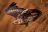 Sub-Adult Brahminy Kite
