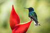 White Necked Jacobin on False Bird of Paradise plant