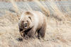 Grizzly Bear Snarl, Destruction Bay, Yukon