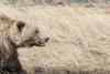 Grizzly Bear Profile, Destruction Bay, Yukon