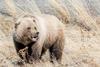 Grizzly Bear, Destruction Bay, Yukon