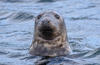 Grey Seal Seeking