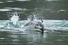 Dashing Dolphin