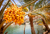 Dates ripening at Wadi Bani Khaled.