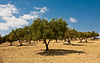 Olive groves outside of Tunis.