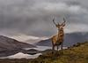 Loch Cluanie stag