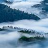 Mist swept forest