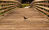 Bird on the boardwalk