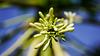 Flower in a papaya tree