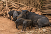 Group of pig