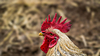 Closeup of a rooster