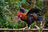 Rooster flying