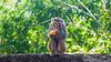 Monkey eating oranges