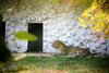 Leopard in a zoo