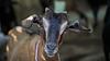 Brown goat closeup shot of head