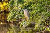 Black Crowned Night Heron, Savannah National Wildlife Refuge