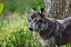 Grey Wolf, Oatland Island Wildlife Center