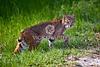 Bobcat, Savannah National Wildlife Refuge