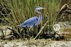 Great Blue Heron, Savannah National Wildlife Refuge