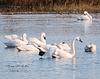 swan, birds, waterfowl, north carolina, inner banks