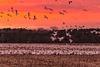 Raining Snow Geese
