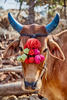 """For most Indian farmers, livestock is a very important part of their 'wealth.' In fact, the colloquial term for them is, """"Jeev Dhan,"""" which literally means 'animal wealth.' Amongst farm animals, the Cow, is considered the most important one for Indian farmers. So much so that its waste products are used as agricultural nutrients. They are dressed up and prayed to during festivals."""
