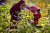 Organic Cotton Cultivation promoted by C&A Foundation in Madhya Pradesh.