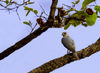 falcon, tadoba 2012