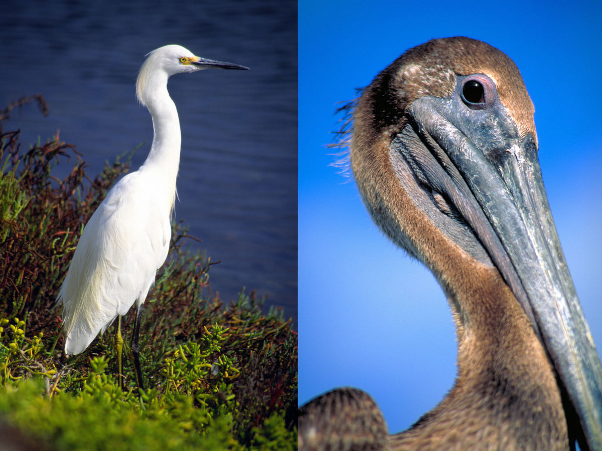 Egret (Bolsa Chica, California) | Juvenile Pelican (Key Largo, Florida)