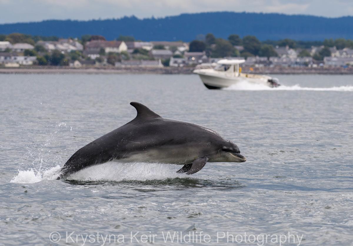 Cetaceans of Scotland