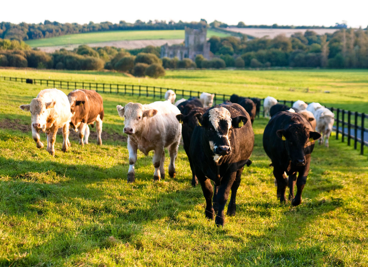Abbey Cows