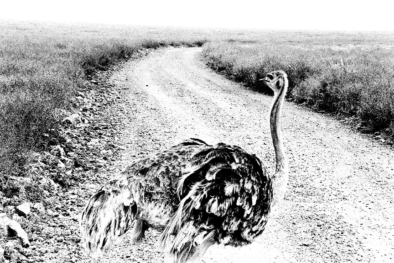 Ostrich, Ngorongoro 2016   Edition 1 of 2