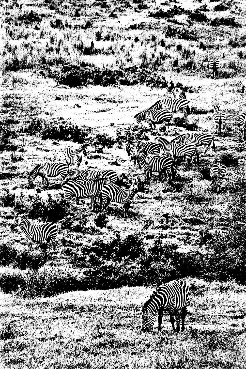 Zebra - 2, Ngorongoro 2016   Edition 1 of 2