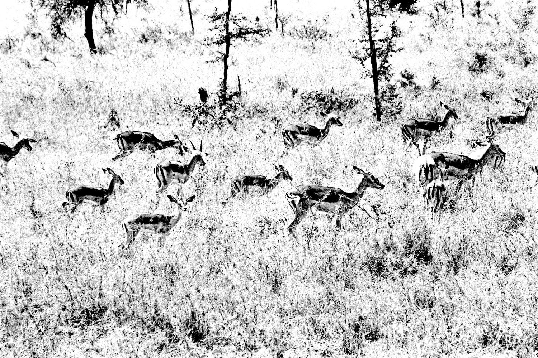 Gazelle - 2, Serengeti 2016   Edition 1 of 2